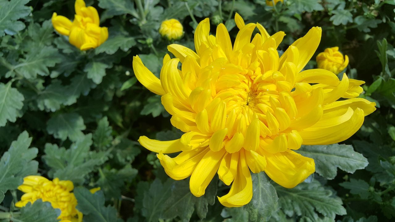 Flower Yellow Nature Thailand Travel Flower Head Chrysanthemums Beauty In Nature Pink Color Nature Water Day Freshness