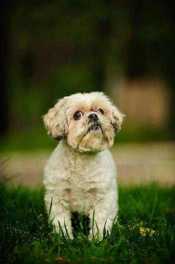 Shih Tzu Looking Up On Grassy Field