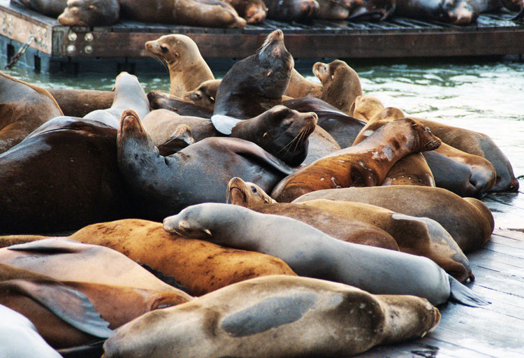 Sea Lions at Pier 39, San Francisco. Animal Themes Animals Animals In The Wild California Day Marina Nature Ocean Outdoors Pier Pier 39 San Francisco Sea Sea Lion Seal Sealife