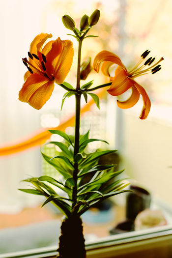 Bright Colors Close-up Flower Flower Head Focus On Foreground Fragility Freshness Hammok Indoors  Live The Moment 💕🌸 Orange Color Vase