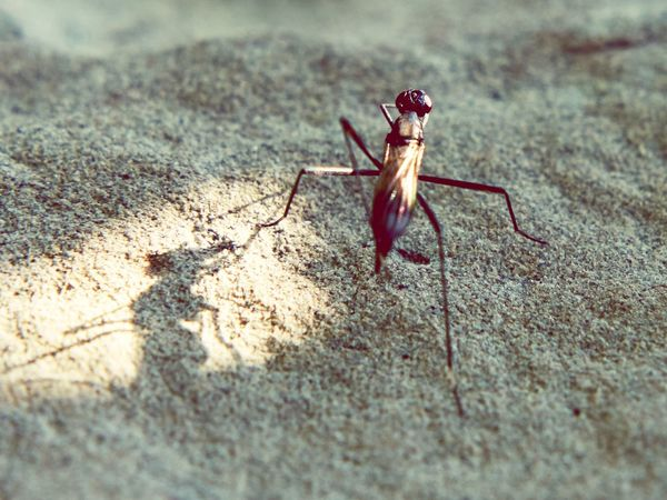 Small And Big Small Animal Gnat Punky Midge Swissbeauty Hello World Eyem Gallery Ladyphotographerofthemonth Mücke Makro Mosquito Animal Wildlife Animal Animal Themes One Animal Animals In The Wild Invertebrate Insect Shadow Sunlight Close-up Animal Body Part High Angle View