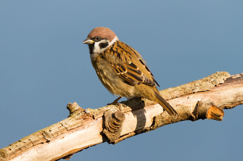 Field sparrow on dry thick branch against blue sky