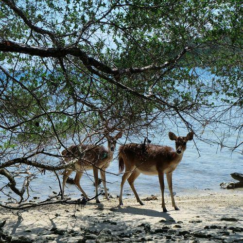 Wild Deer at Ujungkulon Nationalpark - INDONESIA // Jalan2man Nu2Travel