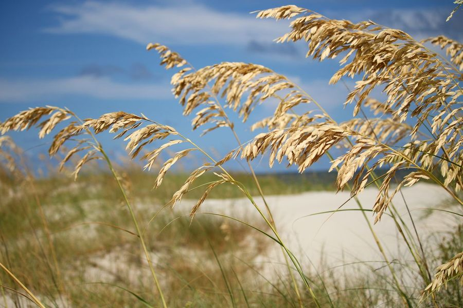 Beach EyeEm Selects Rural Scene Cereal Plant Bird Water Agriculture Sky Grass Close-up Landscape Plant Wilderness Shore Sandy Beach Reed - Grass Family