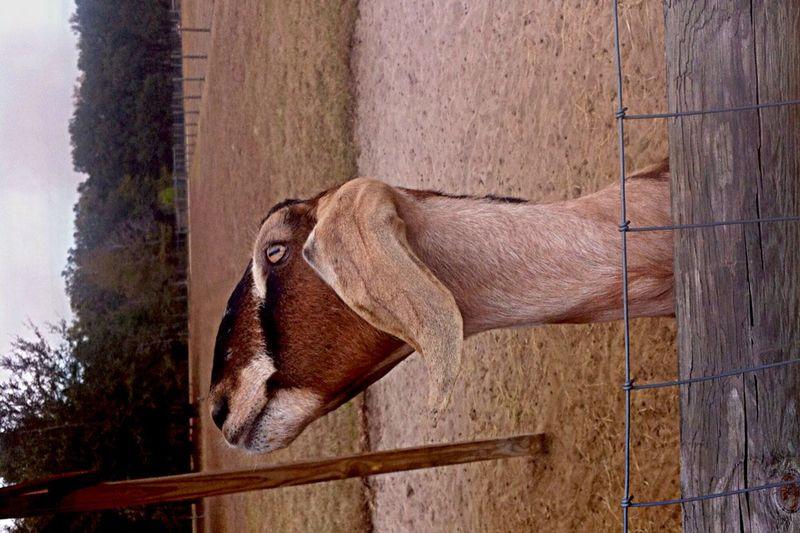 Goats Serenitygoats Farm Life Farm Serenitygoats