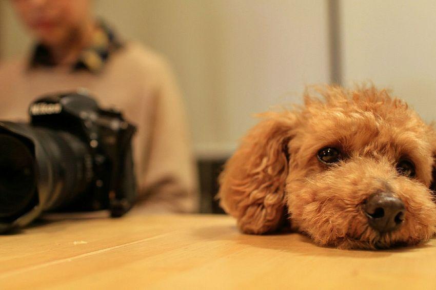 Pets Dog Indoors  Animal Close-up