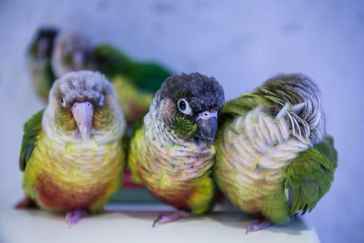Front view portrait of four parrots