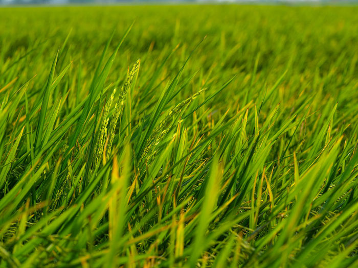 Agriculture Backgrounds Beauty In Nature Cereal Plant Close-up Crop  Day Ear Of Wheat Farm Field Freshness Full Frame Grass Green Color Growth Landscape Nature No People Outdoors Rice Paddy Rural Scene Scenics Tranquil Scene Tranquility Wheat