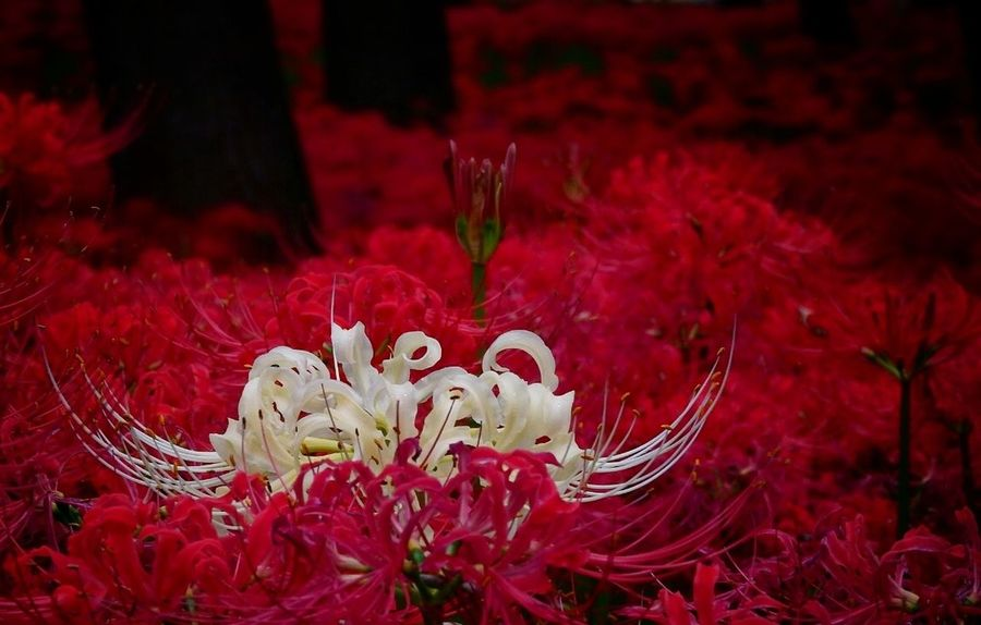 Red Flower Flower Head Close-up Lycoris Radiata Lycoris Red Spider Liiy 曼珠沙華 彼岸花 Red Flower 花 Cluster Amaryllis Flower Photography Red Spider Lily Clusteramaryllis Red Color Red Spider Lilies Red