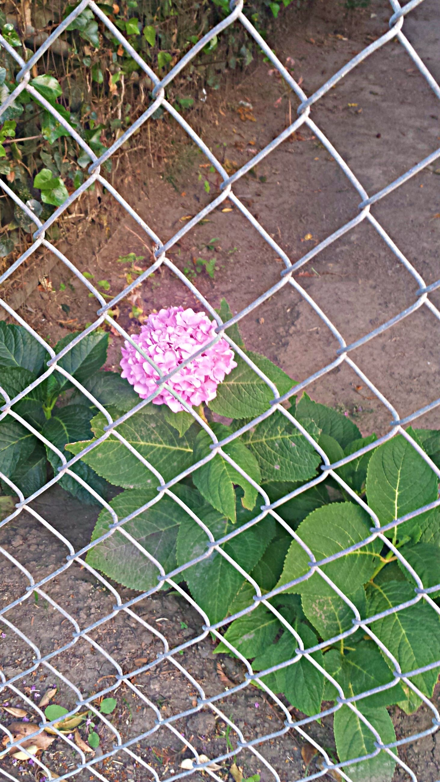 chainlink fence, flower, growth, fence, plant, green color, freshness, fragility, full frame, nature, grass, backgrounds, beauty in nature, high angle view, pattern, protection, outdoors, leaf, day, close-up
