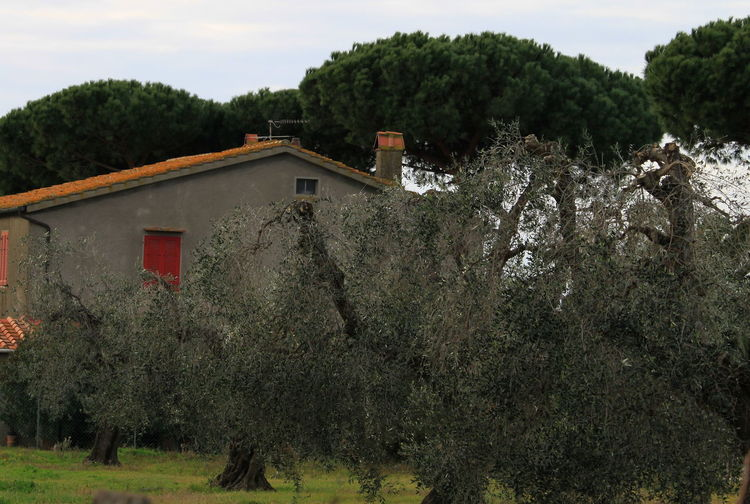 January 2017 Maritime Pines Tuscany Countryside Beauty In Nature Building Exterior Built Structure Castagneto Carducci Day Growth House Italy No People Olive Trees Outdoors Red Color Sky Window