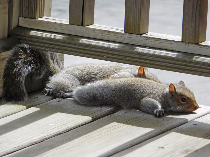 Close-up of squirrels relaxing on wooden surface
