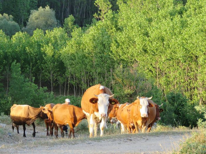 Tree Cow Cattle