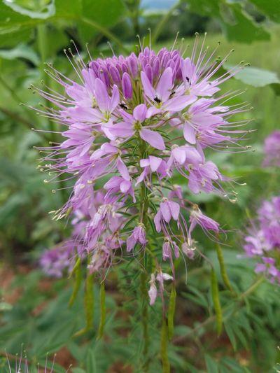 Purple wildflower Garden of the Gods hiking daytime