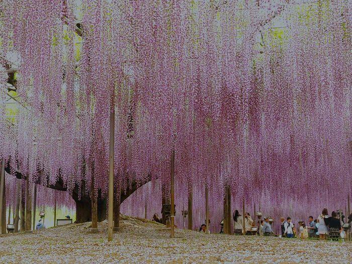 Wisteria In Full Bloom Scene Of Purple Ashikaga Flower Park Tochigi.japan