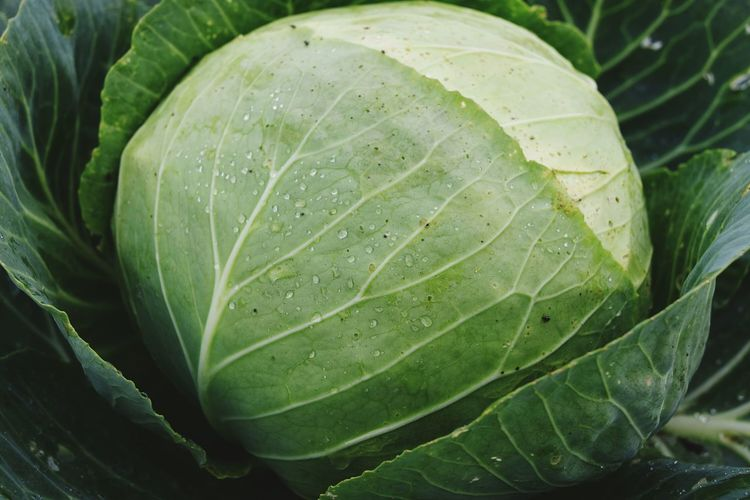Close-Up Of Wet Cabbage