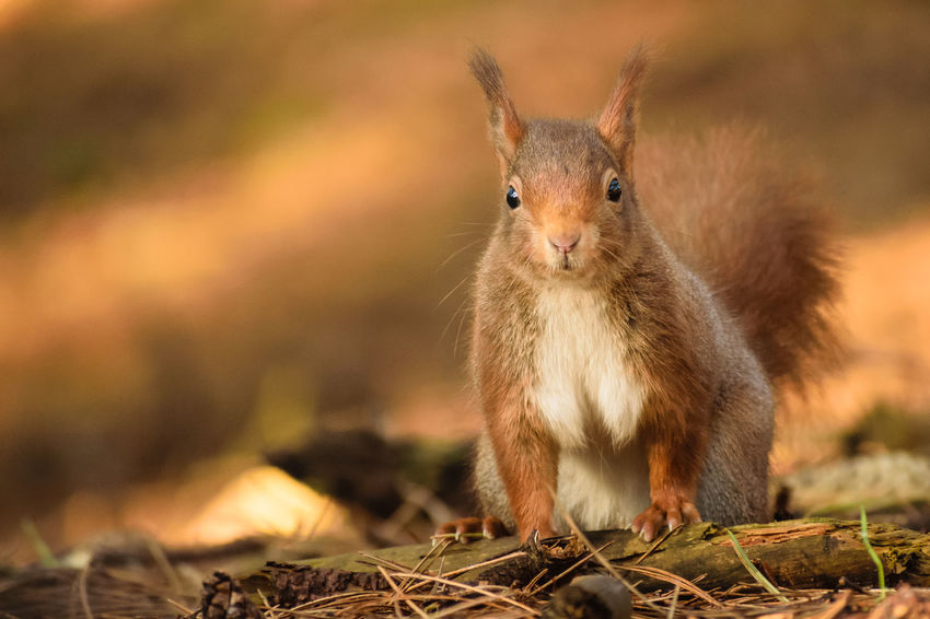 Red Squirrel Nature Nature On Your Doorstep Red Squirrel Squirrel Squirrel Park WoodLand Animal Themes Animal Wildlife Animals In The Wild Close-up Cute Day Focus On Foreground Formby Furry Looking At Camera Mammal Nature No People One Animal Outdoors Portrait Rodent Squirrel
