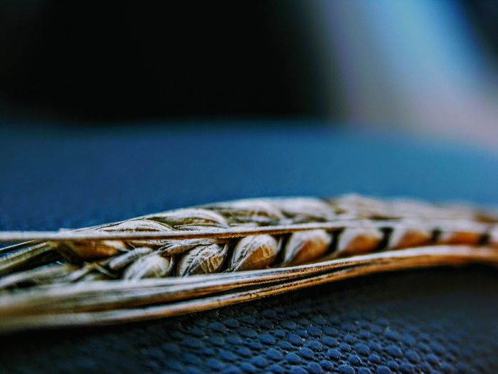 Close up of stalk of wheat on blue cloth