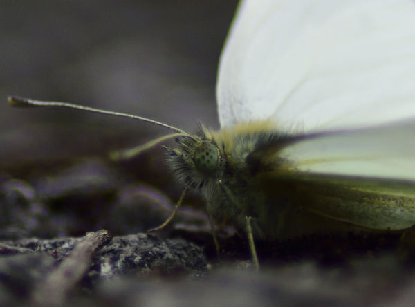 Antennae Beautiful Nature Beauty In Nature Butterfly Close-up Green Veined White Butterfly Insect Insect Paparazzi Insect Photography Macro Beauty Macro Photography Macro_collection Pieris Napi Wildlife & Nature Wildlife Photography Wings