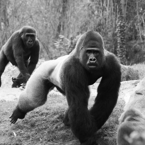 Animal Themes Animal Wildlife Animals In The Wild Ape Day Gorilla Grass Mammal Monkey Nature No People Outdoors Primate Silverback Gorilla Togetherness