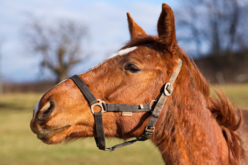 Horse One Animal Domestic Animals Animal Themes Brown Close-up Animal Bridle Animal Body Part Front View Day Nature Mammal Hoofed Mammal Outdoors No People Sky Horse Racing