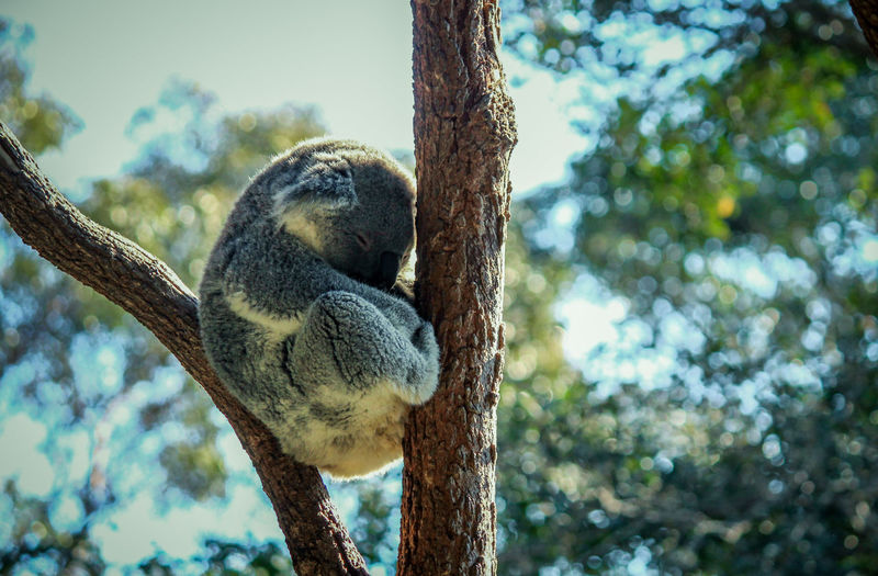 Animal Themes Animal Wildlife Animals In The Wild Beauty In Nature Branch Close-up Day Focus On Foreground Koala Low Angle View Mammal Nature No People One Animal Outdoors Sky Tree Tree Trunk