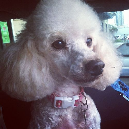 One of my Poodles  Freshandsocleanclean from the groomers.:) Hibaby Mugatu