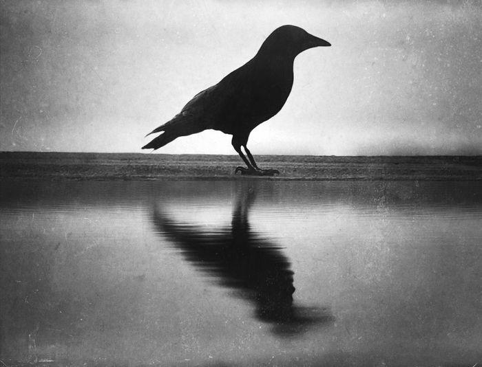 Bird Reflection Crow Raven - Bird Silhouette