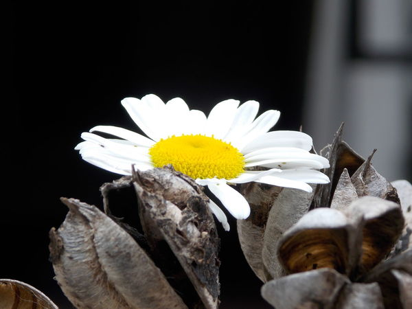 As Is Beauty In Nature Black Background Blooming Close-up Daisy Flower Flower Head Fragility Freshness Growth Nature No Edit Petal Pollen Single Flower White White Color Yellow favourite. Aiming for perfection