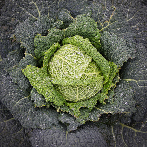 Cabbage! EyeEmNewHere Nature Nature Photography Beauty In Nature Cabbage Drops Of Water Freshness Green Color Growth Nature Organic Organic Farming Organic Gardening Plant Structures Vegetable The Still Life Photographer - 2018 EyeEm Awards