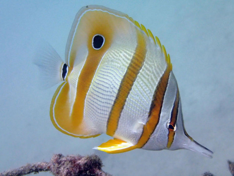 Butterflyfish found at coral reef area at Redang Island, Malaysia Animal Themes Animal Wildlife Animals In The Wild Aquarium Beauty In Nature Butterfly Butterflyfish Close-up Clown Fish Day Fish Fishing Malaysia Nature No People Outdoors Redang Sea Sea Life Swimming Tioman UnderSea Underwater Water