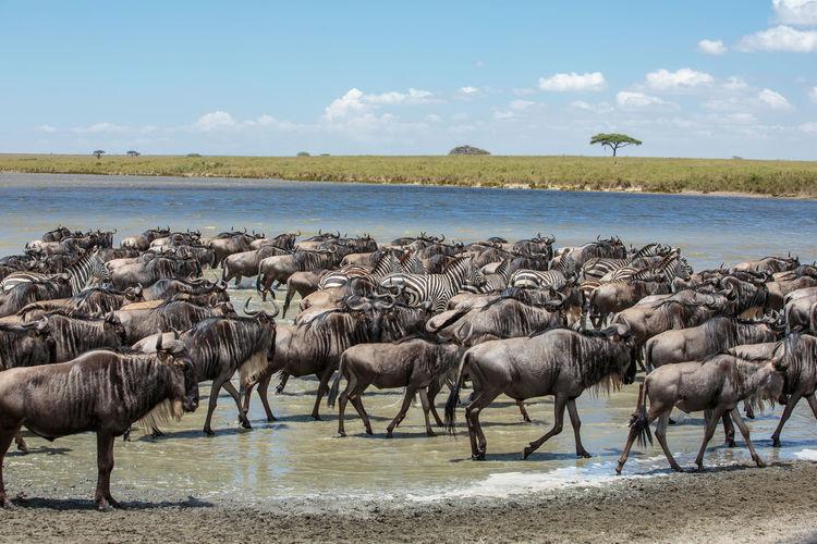 Herd of zebras and wildebeests on shore against sky