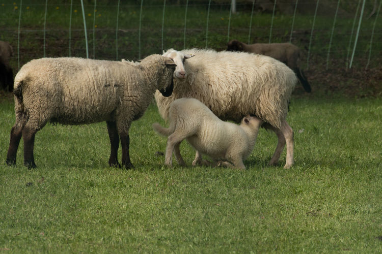 Suckling lamb Animal Themes Animals Day Domestic Animals Grass Growth Lamb Livestock Mammal Nature No People Outdoors Spring Springtime Suckler Togetherness Young Animal