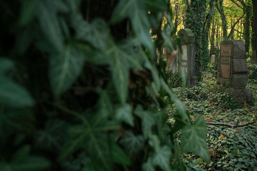 Autumn Cemetery Jewish Tomb Cementery Cemetery Ivy Jewish Cemetery Leaf Leaves Lodz Tombstone Łódź