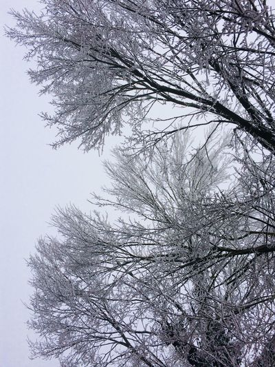 White Trees Tree Branch Winter Nature Low Angle View Beauty In Nature Shades Of Winter Bare Tree Cold Temperature Tranquility No People Snow Outdoors Scenics Growth Day Clear Sky Sky