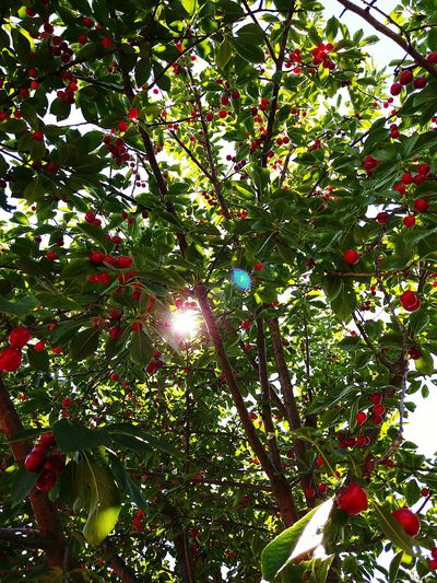 Nature Tree Day Outdoors No People Green Color Tree 🍒cherries 🍒🍒 In My House Cheery Red Color Red Relaxing Relax❤️