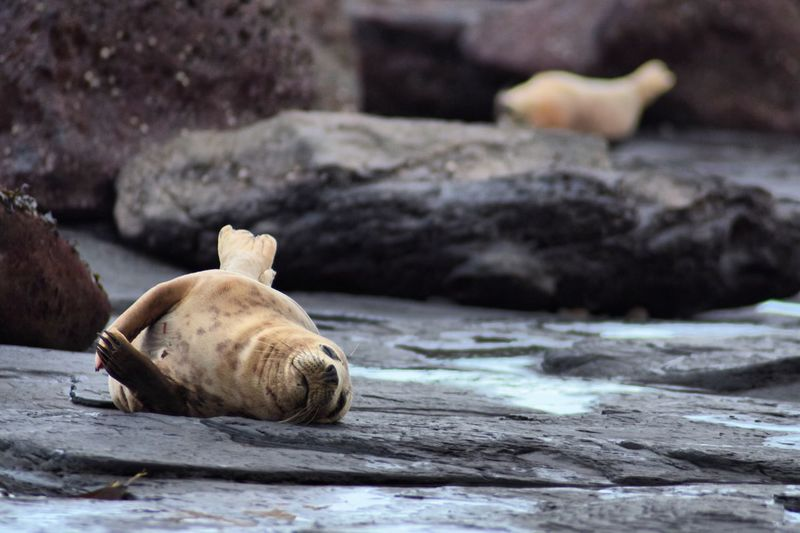 Seal pup relaxing on rock at beach