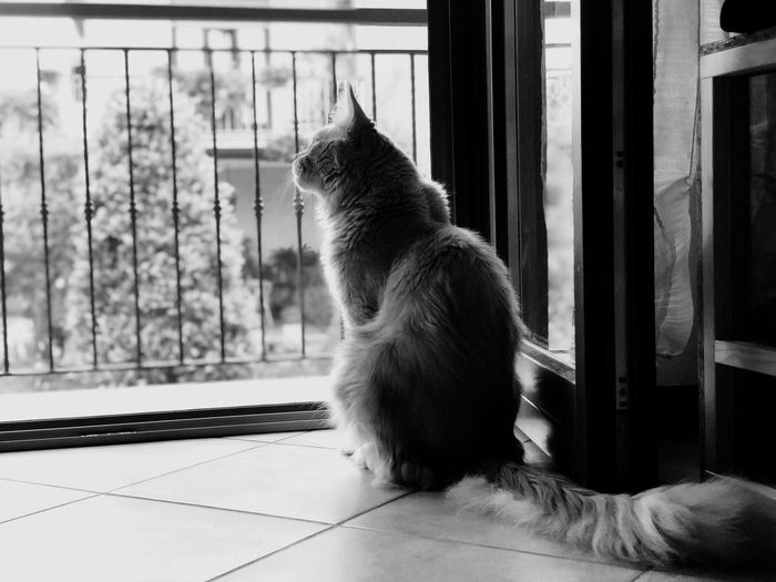 Maine Coon Mainecoon One Animal Domestic Cat Animal Themes Cat Animal Pets Mammal Feline Domestic Animals Indoors  Window No People