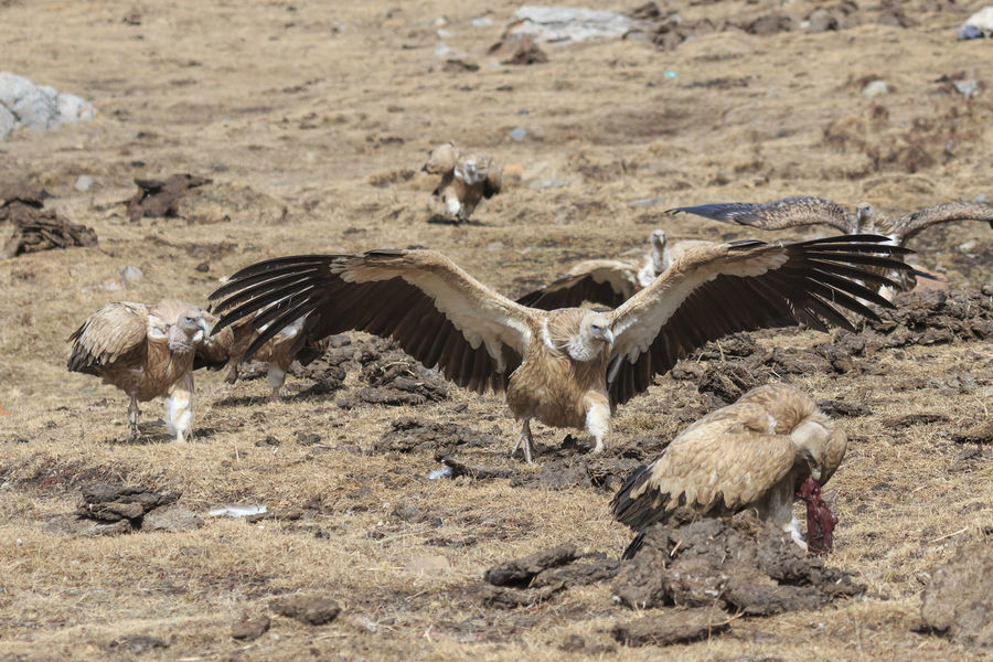 Group of Griffon Vulture (Gyps fulvus) in SiChuan, China ASIA Griffon Vulture Gyps Fulvus Pseudois Nayaur Qinghai Sichuan Yushu Animal Animal Themes Birds Blue Sheep Carcass China Grifón Mountain Nature No People Outdoors Prayer Flags  Prayer Wheel Prey Tibet Wild Wildlife Xining