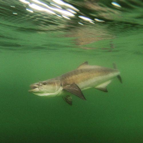Fishing Gopro Cobia Underwater Eyeemfishes Saltwater Boating Outdoors Bay Bigfish