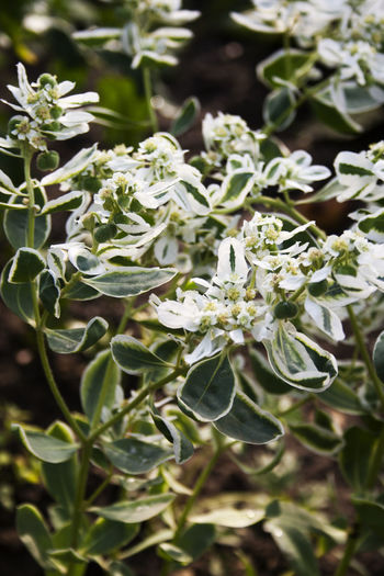 Euphorbia marginata commonly known as snow-on-the-mountain, smoke-on-the-prairie, variegated spurge, or whitemargined spurge Smoke-on-the-prairie Beauty In Nature Blooming Blossom Botany Close-up Day Euphorbia Marginata Flower Flower Head Focus On Foreground Fragility Freshness Green Green Color Growth In Bloom Nature Petal Plant Snow-on-the-mountain Springtime Variegated Spurge White Color Whitemargined Spurge