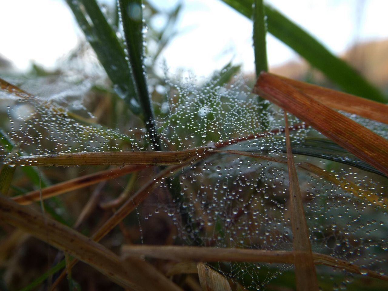 nature, spider web, drop, close-up, beauty in nature, web, day, growth, focus on foreground, no people, outdoors, plant, green color, water, fragility, freshness