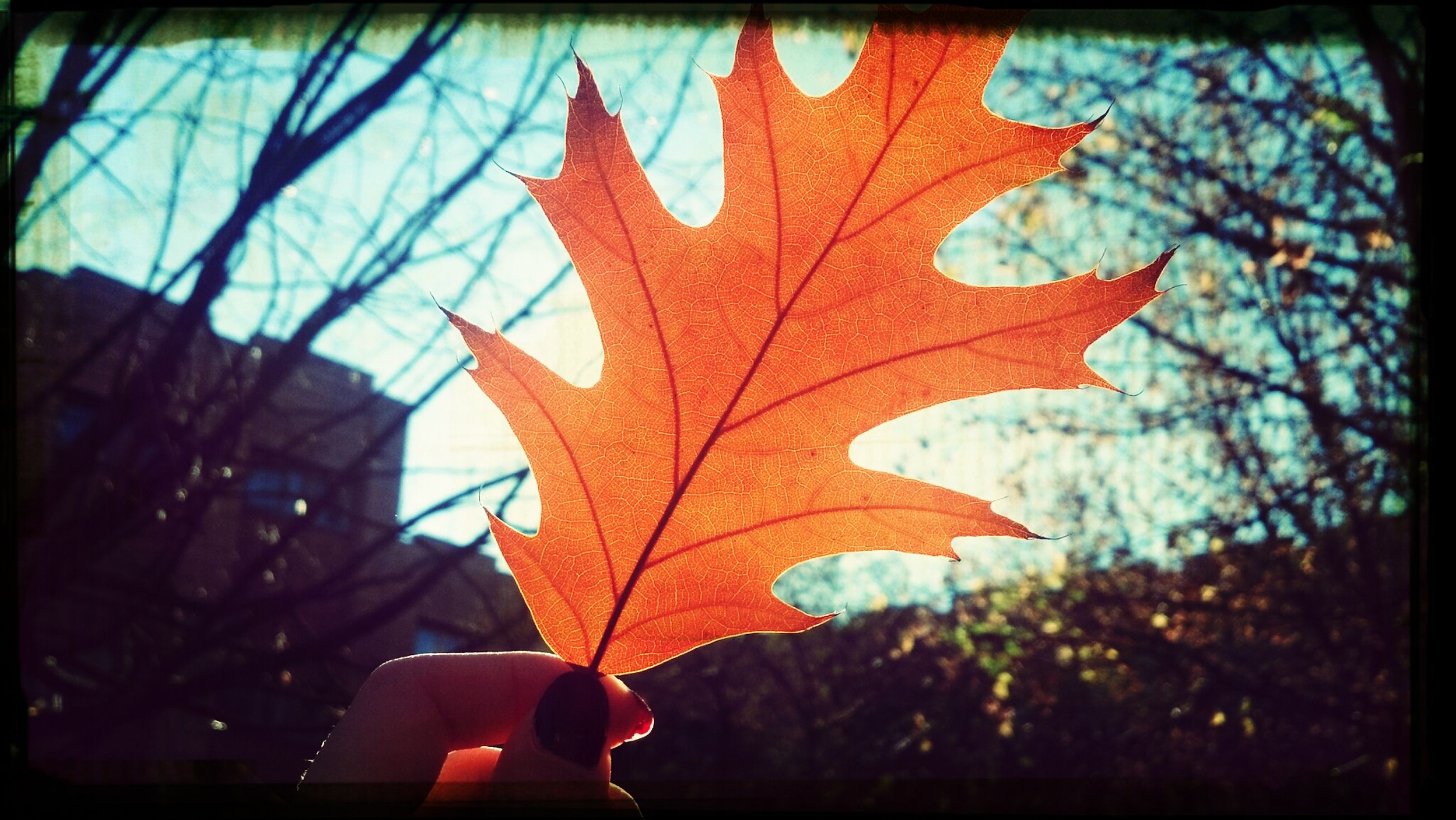 transfer print, person, leaf, autumn, auto post production filter, part of, season, close-up, holding, focus on foreground, maple leaf, leaf vein, change, tree, unrecognizable person, lifestyles, cropped