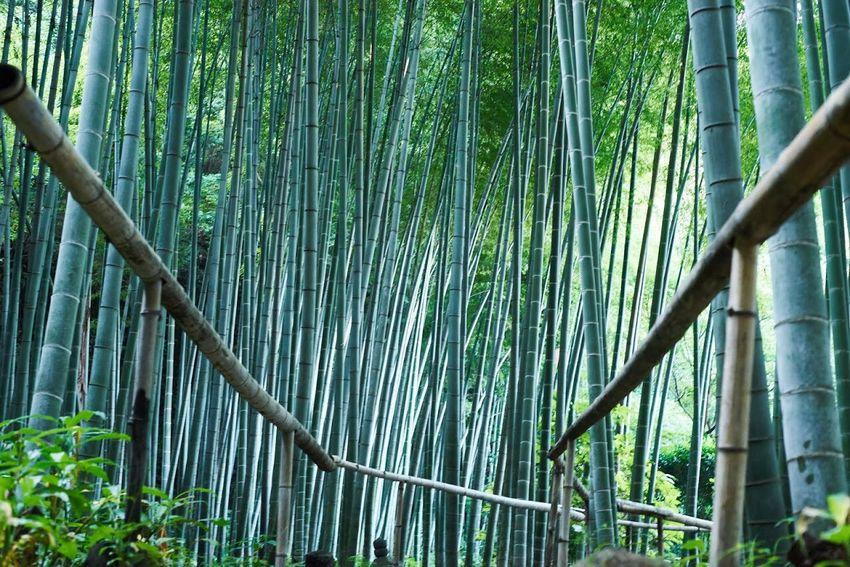 Growth Forest Bamboo Grove Tree Low Angle View Green Color Railing Bamboo - Plant Tree Trunk Close-up Scenics Tranquility Nature WoodLand Branch Bamboo Green Outdoors Beauty In Nature Tranquil Scene Bamboo Forest Green Nature_collection Nature Photography Bamboo Tree...