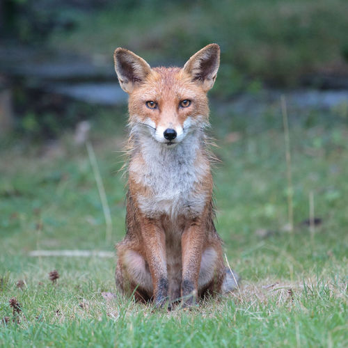 Urban fox winking Animal Wildlife Animals In The Wild Day Fox Grass Looking At Camera Nature No People One Animal Outdoors Urban Fox Wink