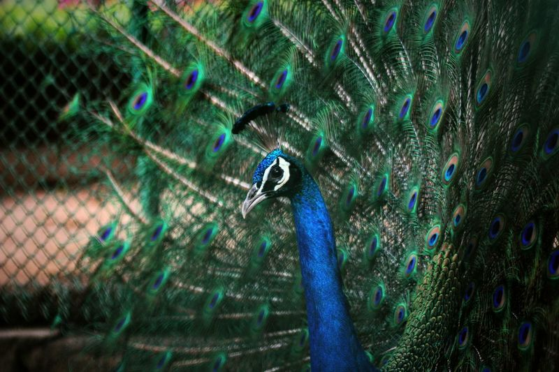 When we seek to discover the best in others, we somehow bring out the best in ourselves. Peacock Peacock Feather Blue Green Feather  Feathers Bird Color Colorful Pattern Spots Beautiful Nature Nature_collection Amazing Check This Out India Photography Wildlife & Nature Dance Dancing Nationalbird Followme Like4like Picoftheday