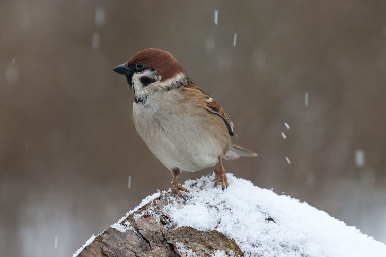 Field sparrow in light snowfall on a rock