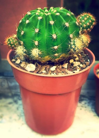 Cactus Guatemala