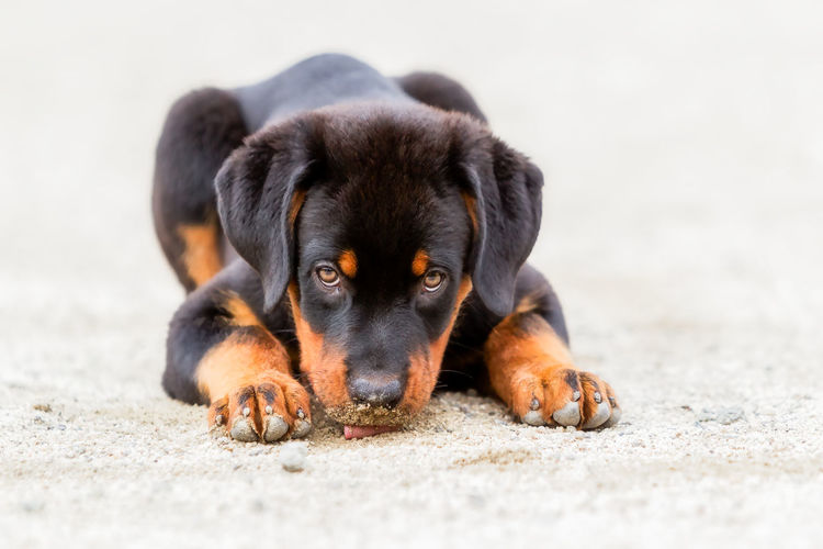Close-Up Portrait Of Rottweiler Puppy Resting At Beach