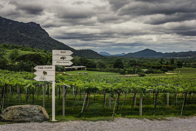 Vineyard Hua